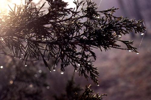 Into-the-Light-Cedars