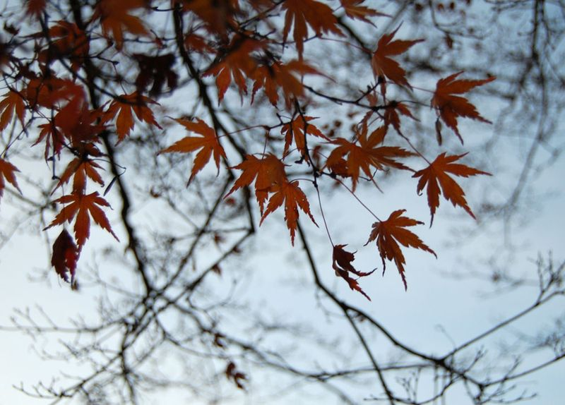 17-Japanese-Maple