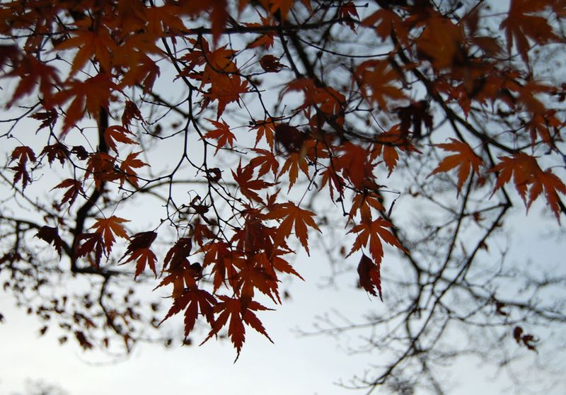 17-Japanese-maple2