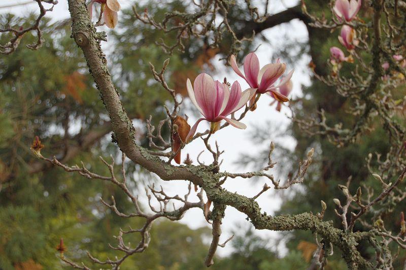 22-Magnolia