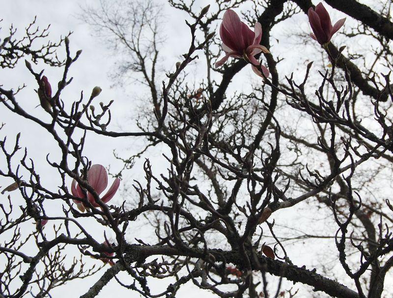 22-Magnolia-2