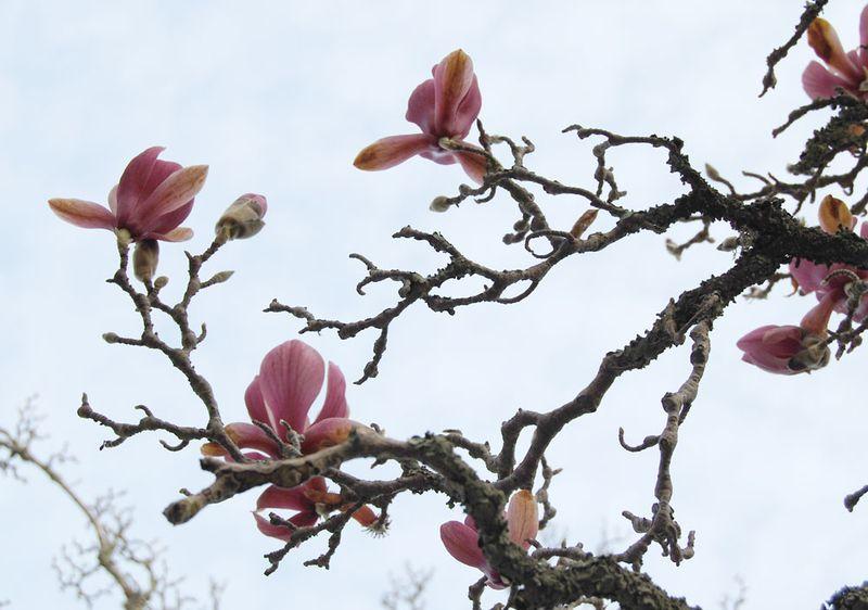 22-Magnolia-3