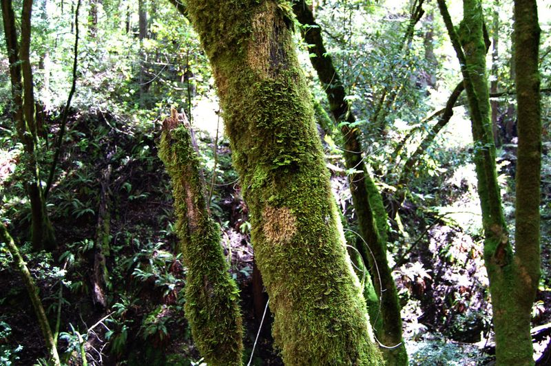 Mossy-Trees