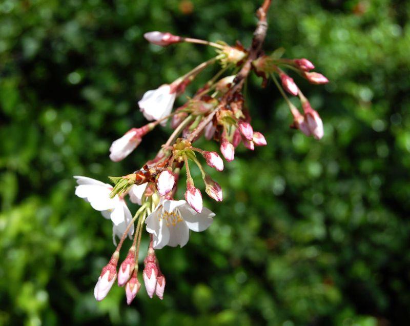 Plum-Branch