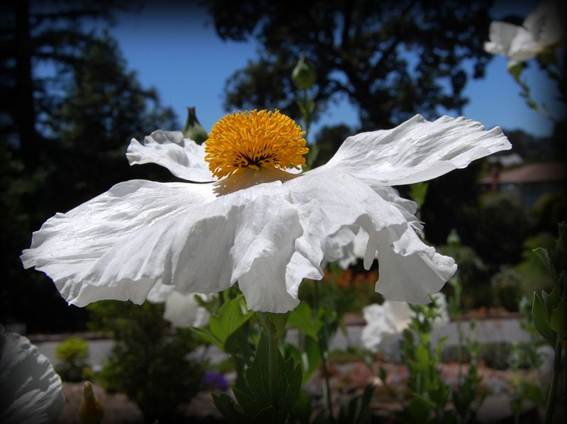 Matalija-Poppy