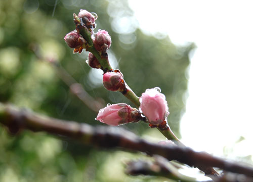 Peach-blossoms