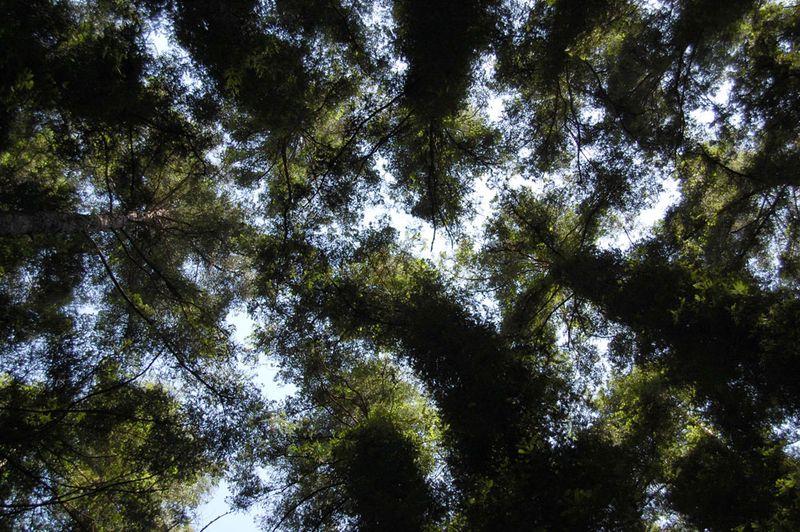 Redwoods-Mill-Valley-2011