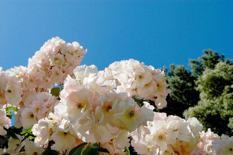 Roses-&-Sky